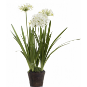 Agapanthus in Paper Pot White