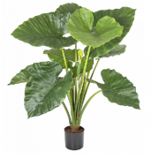 ALOCASIA CALIDORA POTTED 80CM