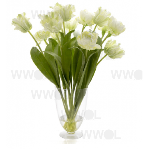 Tulip in Water in Glass Vase Parrot White